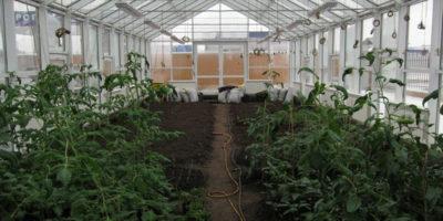 Как получать два урожая в теплице за сезон